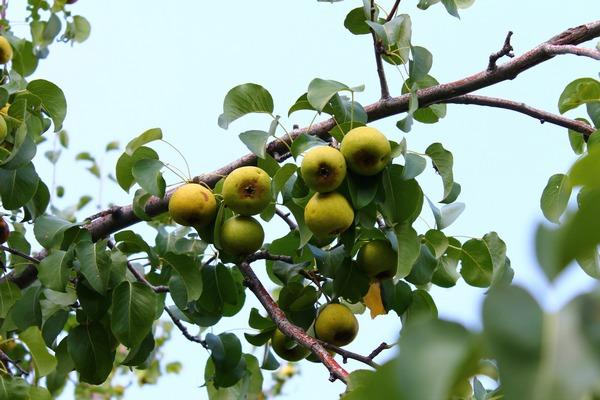 Компот из груш: полезная заготовка на зиму