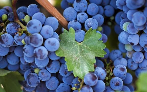 Виноградный сок: способы и варианты приготовления